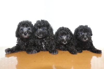 トイプードルシルバーの子犬オス2頭メス2頭、生後7週間画像
