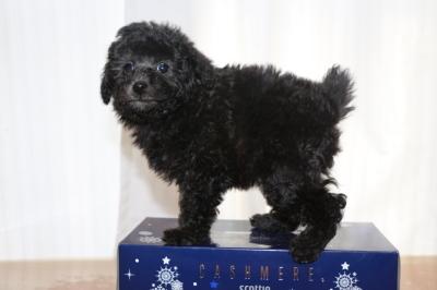 タイニープードルシルバーの子犬メス、生後7週間画像