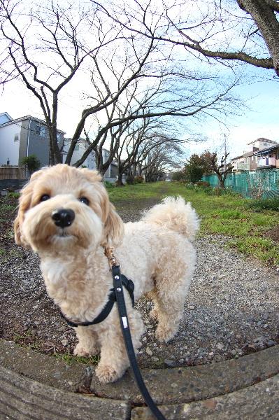 ミックス犬のココ君の一時預かりfrom千葉県市川市画像
