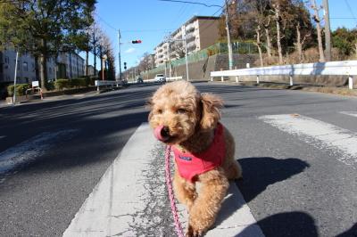 ペットホテルin千葉県トイプードルルナちゃんfrom船橋市画像