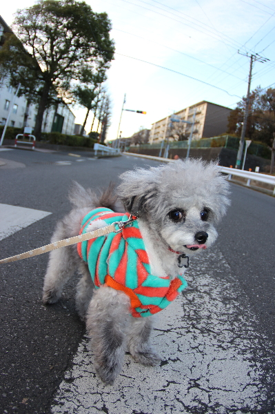 ペットホテルin千葉県トイプードルシルバーイヴちゃんfrom東京都練馬区画像