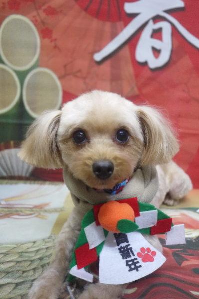 千葉県鎌ヶ谷市のミックス犬のトリミング画像