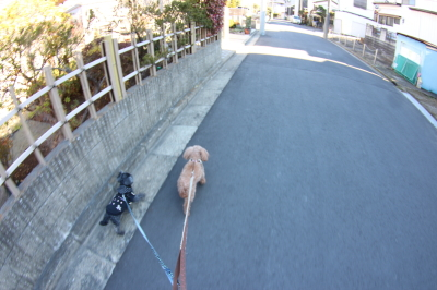 ペットホテルin千葉県トイプードルのリーフ&ミントちゃんfrom船橋市画像