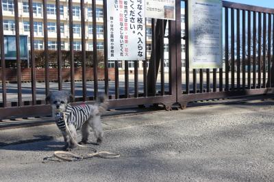 ペットホテルin千葉県ティーカッププードルシルバーイヴちゃんfrom東京都練馬区画像