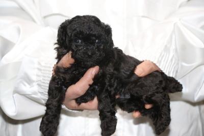 トイプードルブラック(黒)の子犬メス、生後4週画像