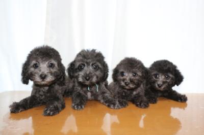 トイプードルシルバーの子犬オス2頭メス2頭、生後2ヵ月画像
