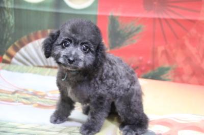 トイプードルシルバーの子犬オス、生後2ヵ月画像