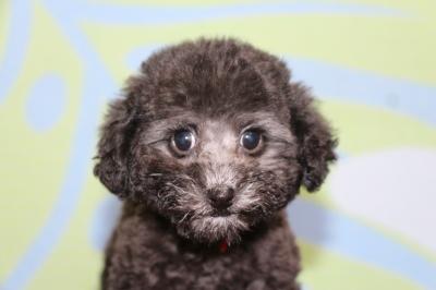 タイニープードルシルバーの子犬メス、生後2ヵ月画像