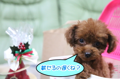 北海道のティーカッププードルレッドの子犬オス、生後2ヵ月半画像