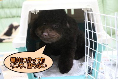 福井県のブリーダー。トイプードルブラウンの子犬メス、リンダちゃん画像