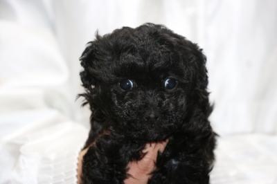 トイプードルブラック(黒)の子犬メス、生後5週間画像