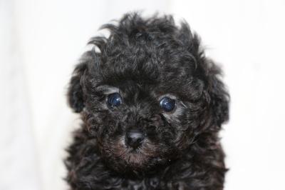 ティーカッププードルシルバーの子犬オス、生後6週間画像