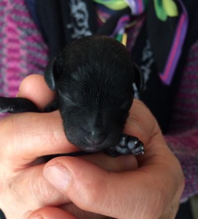 トイプードルブラック(黒)の子犬メス、産まれたばかり画像
