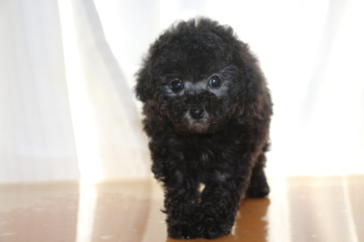 ティーカッププードルシルバーの子犬オス、生後7週間画像