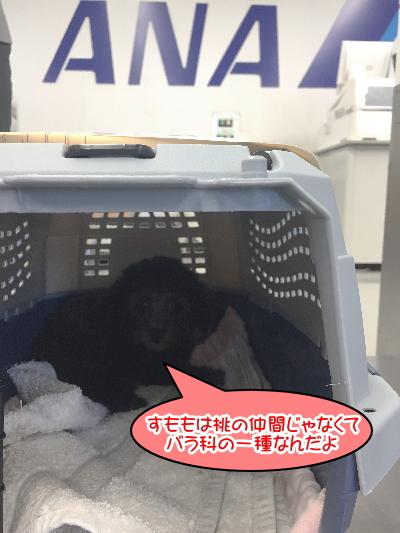 福岡県トイプードルシルバーの子犬メス画像