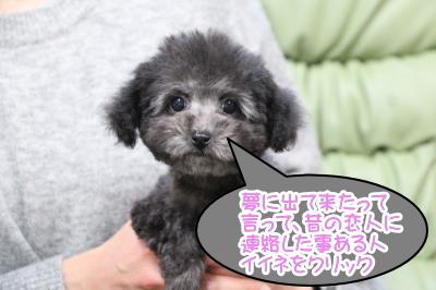 東京都練馬区タイニープードルシルバーの子犬メス、エバちゃん画像