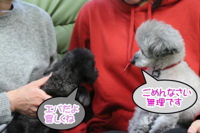トイプードルシルバーメスの多頭飼い、東京都練馬区イヴ&エバ画像