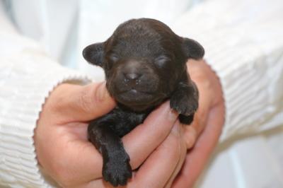 トイプードルブラウンの子犬メス、生後1週間画像