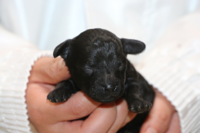 トイプードルブラック(黒)の子犬メス、生後1週間画像