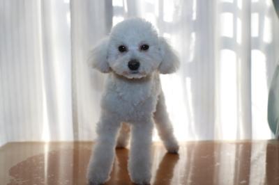 トイプードルホワイト(白)の子犬オス、生後半年画像
