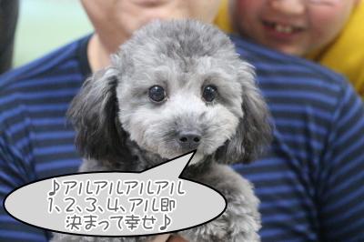 トイプードルシルバーの子犬オス、東京都江戸川区アル君画像