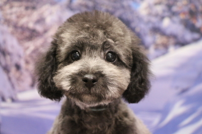 神奈川県横浜市、トイプードルシルバーの子犬オス、エイト君画像