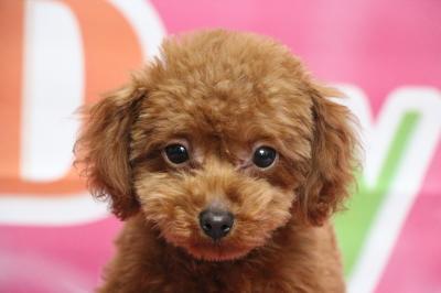 タイニープードルレッドの子犬オス、生後4ヵ月画像