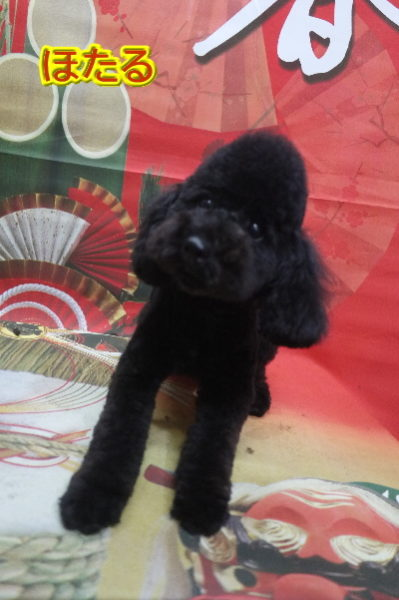 トイプードルブリーダーの成犬,トリミング画像