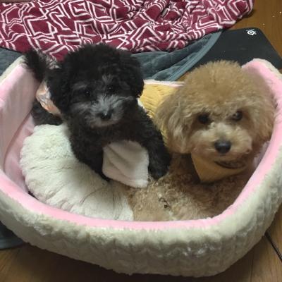 兵庫県芦屋市トイプードルシルバーの子犬メス、すももちゃん画像