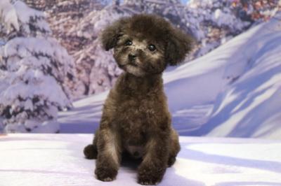 埼玉県川口市、ティーカッププードルシルバーの子犬オス、銀太君画像