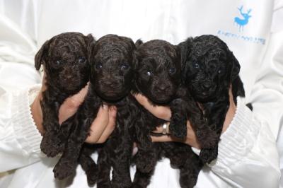 トイプードルの子犬、ブラウンオス2頭メス1頭ブラック(黒)メス1頭、生後3週間画像
