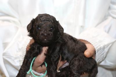 トイプードルブラウンの子犬オス、生後3週間画像