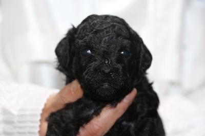 トイプードルブラック(黒)の子犬メス、生後3週間画像