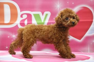 千葉県千葉市、タイニープードルレッドの子犬オス、福君画像