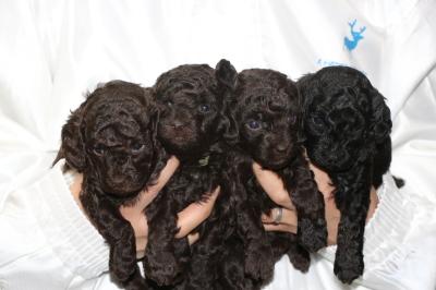 トイプードルの子犬、ブラウンオス2頭メス1頭ブラック(黒)メス1頭、生後4週間画像
