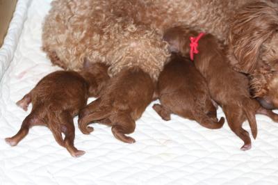 トイプードルレッドの出産、産まれたばかり画像