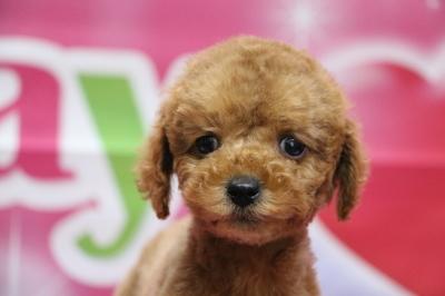 トイプードルレッドの子犬メス、生後2ヵ月画像