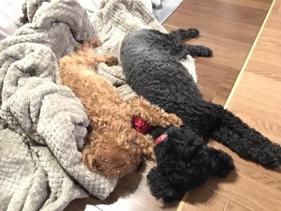 東京都大田区トイプードルブラックとレッドの多頭飼い、ピース&サニー君画像