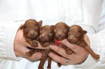 トイプードルレッドの子犬オス1頭メス3頭、生後1週間画像