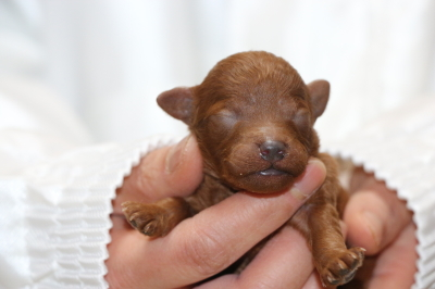 トイプードルレッドの子犬オス、生後1週間画像