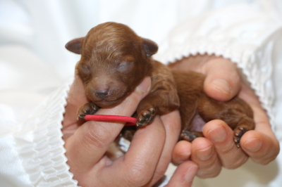 トイプードルレッドの子犬メス、生後1週間画像