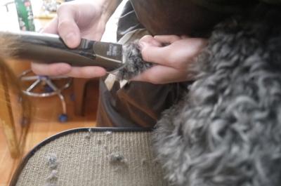トイプードルシルバーの子犬オス、神奈川県横浜市エイト君画像