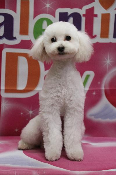 トイプードルホワイト(白)の子犬オス、生後7ヵ月画像