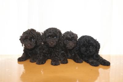 トイプードルの子犬、ブラウンオス2頭メス1頭ブラック(黒)メス1頭、生後6週間画像