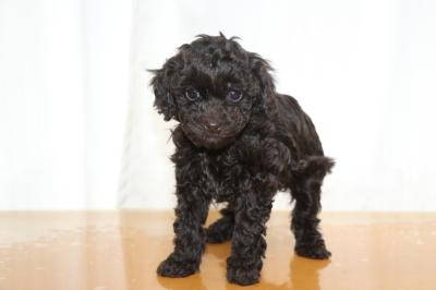 タイニープードルブラウンの子犬メス、生後6週間画像