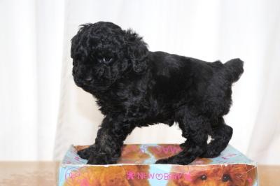 トイプードルブラック(黒)の子犬メス、生後6週間画像