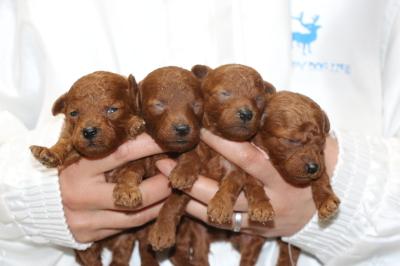 トイプードルレッドの子犬オス1頭メス3頭、生後2週間画像