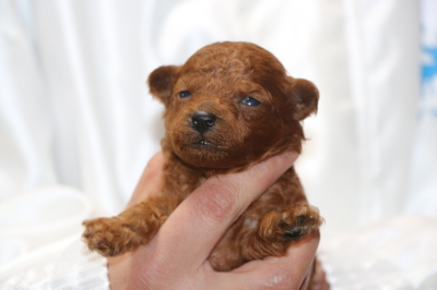 トイプードルレッドの子犬オス、生後2週間画像