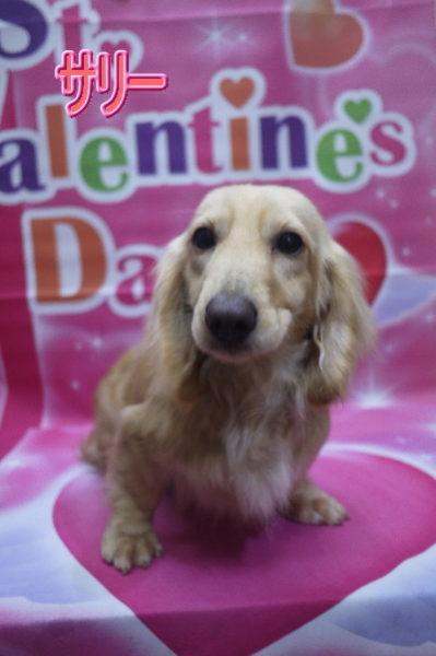 ダックスブリーダーの成犬,トリミング画像