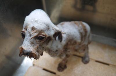 トイプードルブリーダー成犬、シャンプー画像